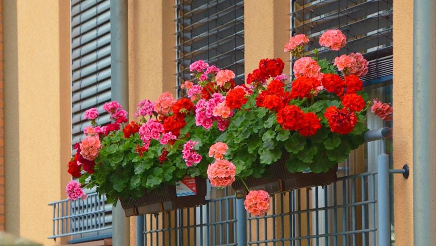 Pelargonie na balkonie.Image by congerdesign from Pixabay
